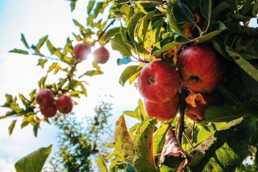 Žaliųjų atliekų kelias: kada pasenę obuoliai tampa trąša, o kada – teršalais?