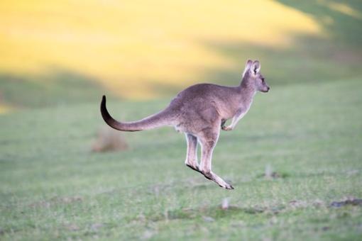 Vilniuje ieškoma iš filmavimo aikštelės pabėgusios kengūros