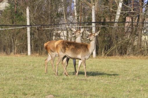 Miško gyventojams – neramios dienos: prasidėjo medžioklės su varovais sezonas