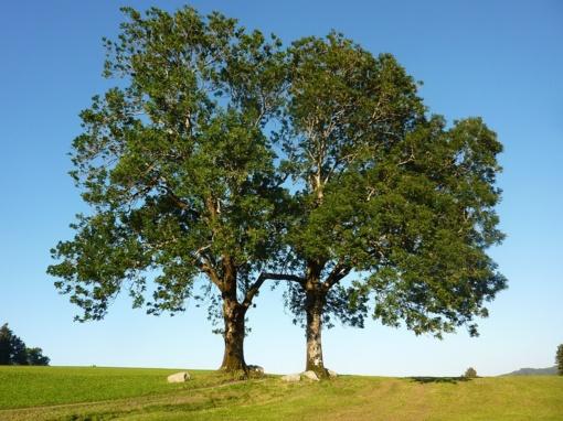 Šilalės rajone iš vyro nupjauti ir pavogti uosio medžiai