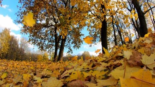 Ruduo sostinėje: per pirmą rudens mėnesį išvežta 900 tonų lapų