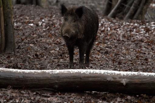Rajone – afrikiniu kiaulių maru užsikrėtęs šernas