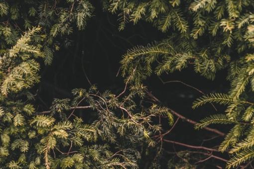Miškininkai gyventojams nemokamai dalys eglišakius augalams dengti