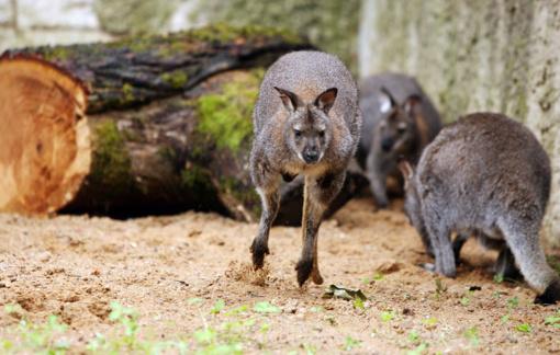 Nors žiemos laukia ne visi, Lietuvos zoologijos sodo gyventojai jai jau ruošiasi