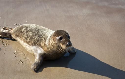 Siųstuvai Jūrų muziejui padeda sekti į laisvę paleistų ruoniukų kelią ir likimus
