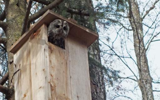Ornitologai gelbsti paukščius – keliami inkilai naminėms pelėdoms