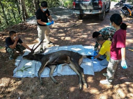 Tailande rastas nugaišęs elnias, kurio skrandžio turinys šokiravo