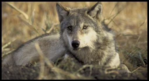 Nuo rokiškėnų medžioklių vilkai krenta kaip lapai