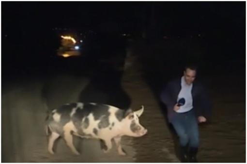 Griūk iš juoko: tiesioginio eterio metu žurnalistą užpuolė kiaulė (vaizdo įrašas)