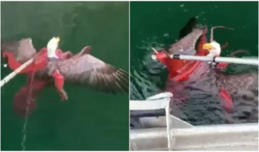 Žvejai vandenyje pastebėjo netikėtą kovą: aštuonkojis skandino erelį (vaizdo įrašas)