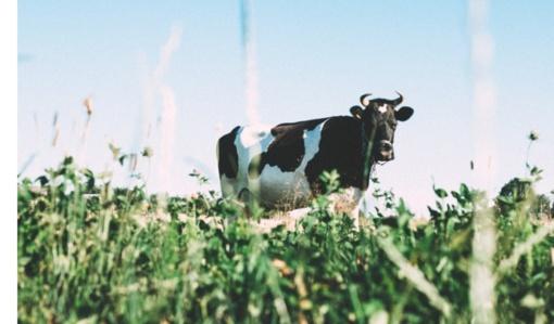 Ekologiško žalio natūralaus riebumo pieno supirkimo kaina šiemet mažėjo