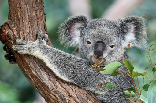 Gaisrai Australijoje tikriausiai pražudė tūkstančius koalų