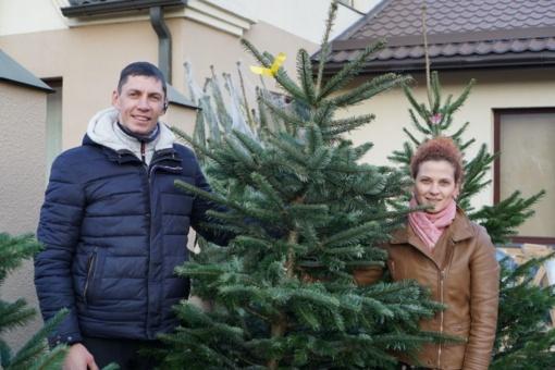 Pasvaliečių auginamos eglutės puošia visos Europos namus