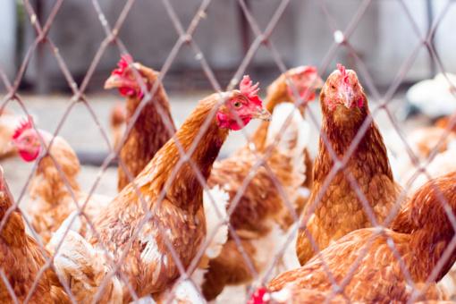 Paukščių gripas toliau plinta Europoje