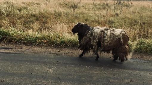 Tauragėje po apylinkes klajojo apleistos avys