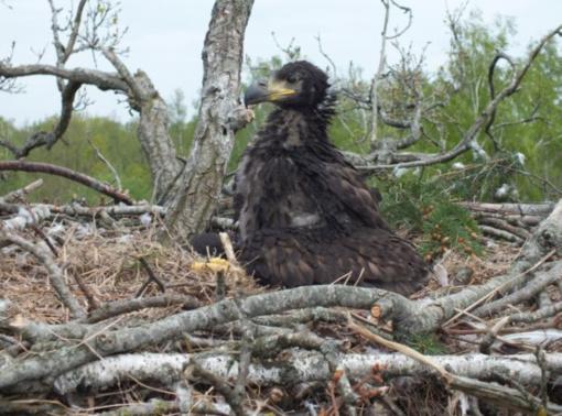 2019 metais Kėdainių rajono miškuose pirmam skrydžiui pakilo tik vienas jūrinių erelių jauniklis