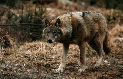 Marijampolės ir Kalvarijos savivaldybių teritorijose bus vykdoma pavasarinė laukinių gyvūnų vakcinacija