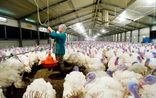 Netoli Lietuvos nustatytas dar vienas paukščių gripo protrūkis