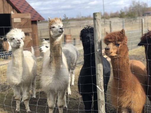 Turizmo parodoje bus pristatomas Panevėžio rajone esantis alpakų ūkis