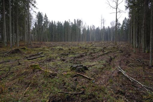Valstybinių miškų urėdija: šiais metais jokie kirtimai Punios šile nebuvo vykdomi