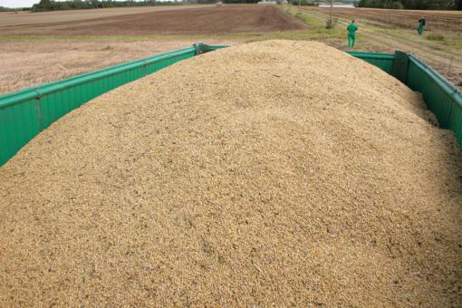 Sausio viduryje didėjo daugumos grūdų supirkimo kainos