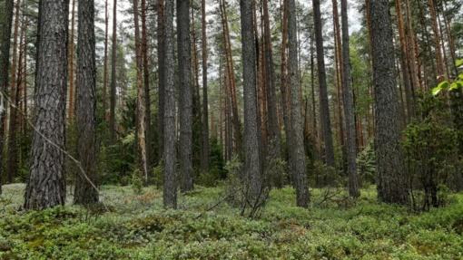 Medienos sektoriaus krizė: pajamos iš valstybinių miškų mažėja 36 mln. eurų