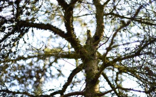 Lazdijų rajone moteris pasigedo savo sklype augančių medžių