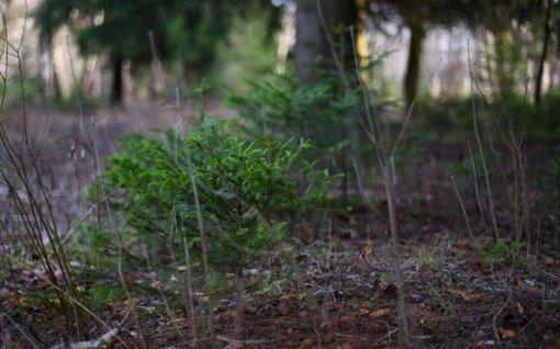 Tauragės rajone pavogta 500 vienetų pušelių