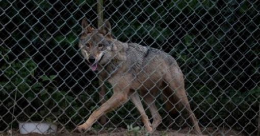Moteris gyvenvietėje augino vilko ir šuns hibridą