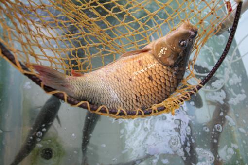 Prekybos tinklai nuo kitų metų nebeprekiaus gyvomis žuvimis