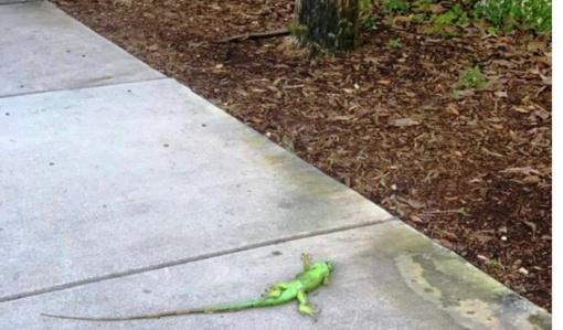 Floridoje – iguanų lietus: atšalus orams šios krenta iš medžių (vaizdo įrašas)