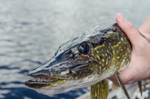 Įsigalioja draudimas žvejoti lydekas