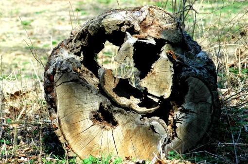Kulautuvos miške planuojama kirsti kenkėjų pažeistus medžius