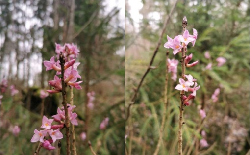 Šilti žiemos orai paskatino pražysti itin pavojingą augalą