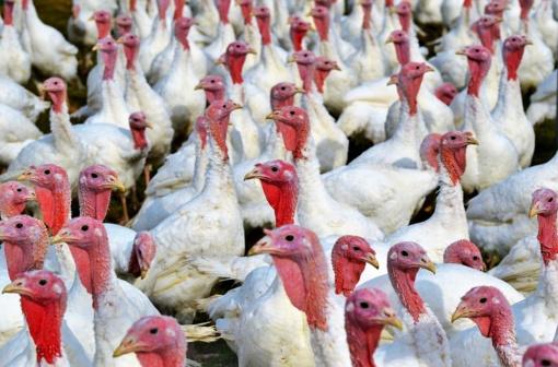 Lenkijoje – naujas paukščių gripo protrūkis kalakutų ūkyje, už 200 km nuo Lietuvos