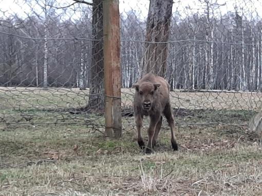 """Stumbrės žūtimi pasibaigusioje medžioklėje – Seimo, """"Grigeo"""", """"Biovelos"""" veidai"""