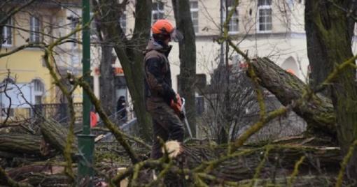 Danės skvere kertami medžiai