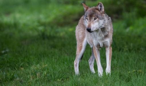 Parama apsisaugoti nuo vilkų numatyta ir Lazdijų rajono žemdirbiams