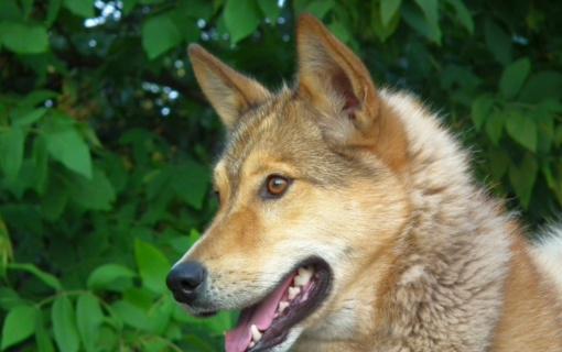 Kretingos rajono miške šuo mirtinai sužalojo stirną