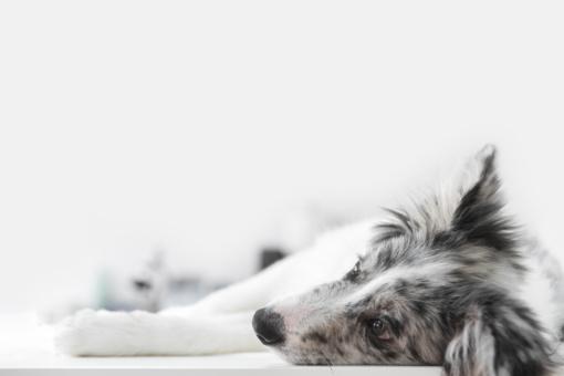 Honkonge koronavirusas diagnozuotas šuniui