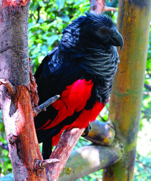 Gotiški paukščiai – Drakulos papūgos