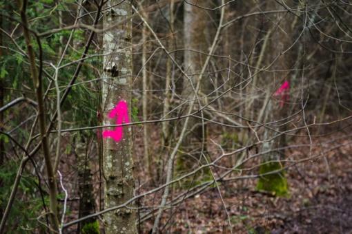 Kaizerlingo miškelio kirtimas išgąsdino Panevėžio rajono gyventojus