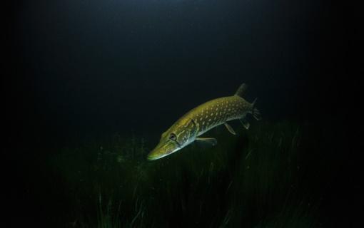 Sulaikyti žeberklu žuvis badę brakonieriai
