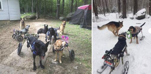 Moteris priglaudė šešis šunis su ratukais