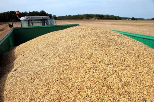 Antroje kovo pusėje sumažėjo grūdų supirkimo kainos