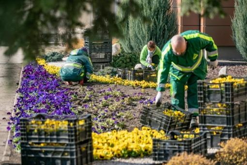 Kitoks pavasarinis gėlių sodinimas sostinėje – 11 tūkst. žiedų pražys šalia gydymo įstaigų