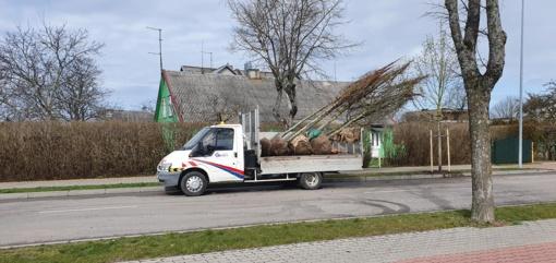 Palangoje po audros vieni medžiai keičiami kitais