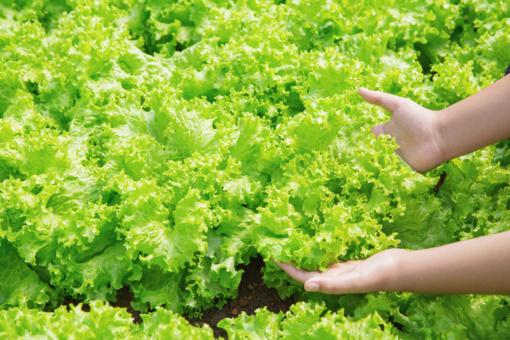 Rytų europiečiai bus skraidinami rinkti britų daržovių ir vaisių