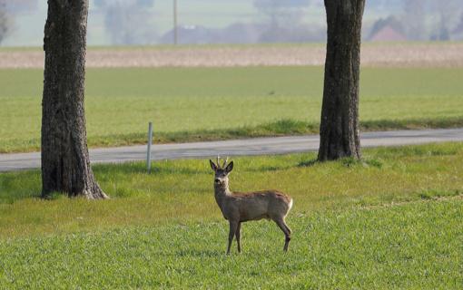 Pareigūnai prašo vairuotojų atidumo: daugėja autoįvykių su laukiniais gyvūnais