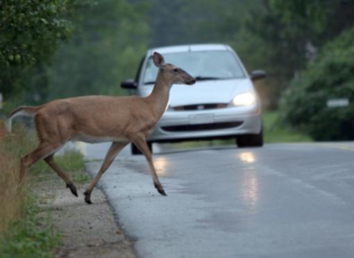 """Keliuose – vis daugiau nelauktų """"eismo dalyvių"""": ką daryti susidūrus su gyvūnu?"""